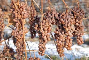 niagara icewine grapes